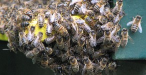 Bees, unwanted guests on planes