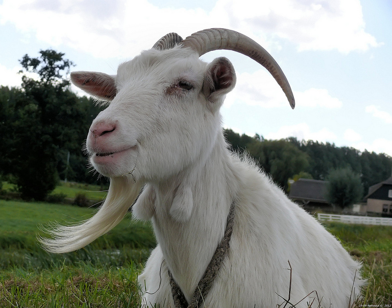 Goats wanted for a U.S. airport