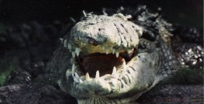 Alligator grin