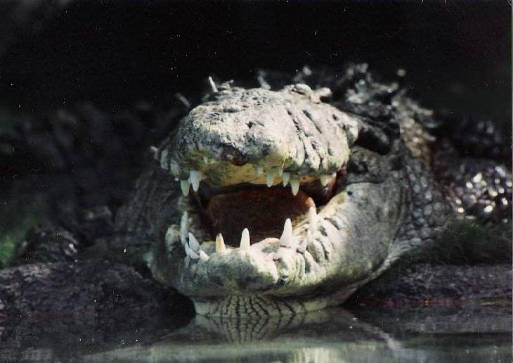 Alligator grin