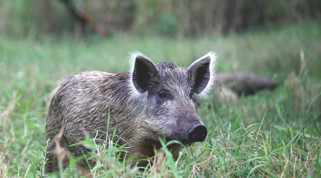 Wild Boar similar to the one spotted at Madrid Airport